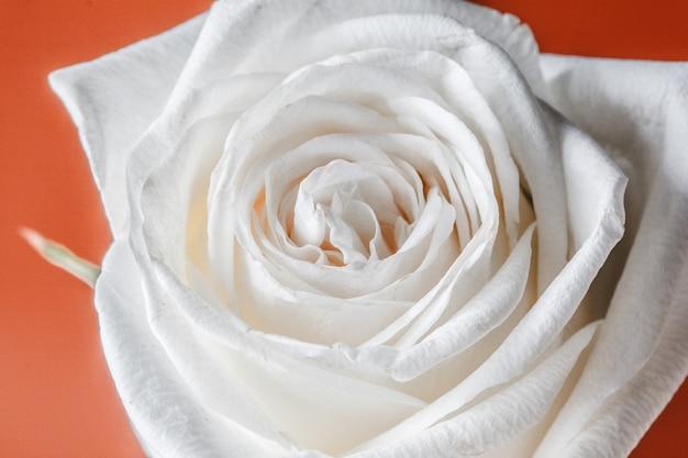 白いバラはオレンジ色の背景に分離