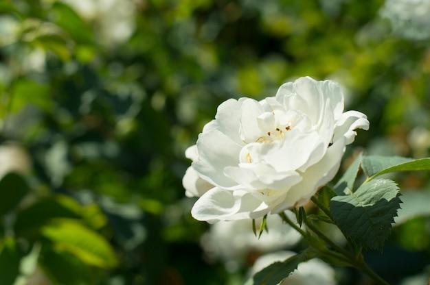 葉の背景に白いバラ