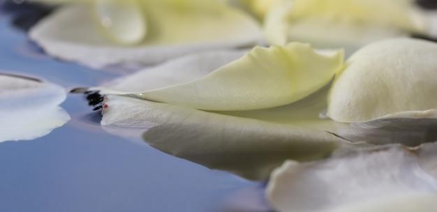 ウォーターフェスティバルやスパのための青い水に白いバラの花びら