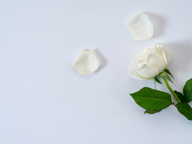 White rose on a white background