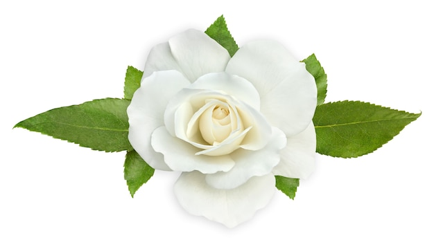 White rose with leaves isolated on white space, top view