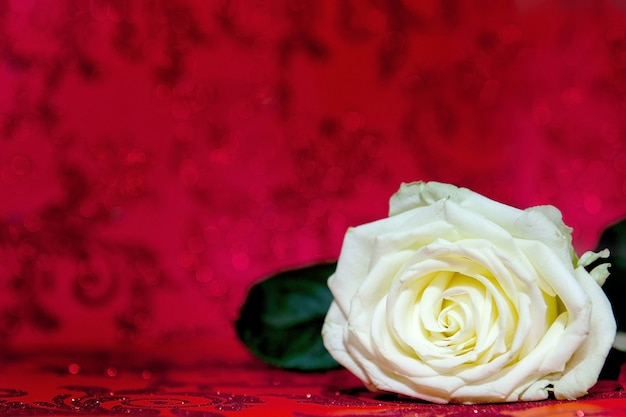 White rose with a place for text. copy the space for the text.