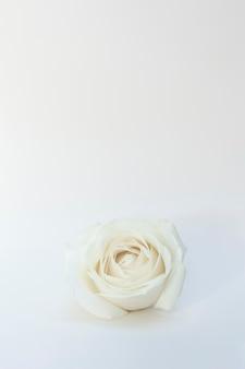 ホワイトローズ 無料写真