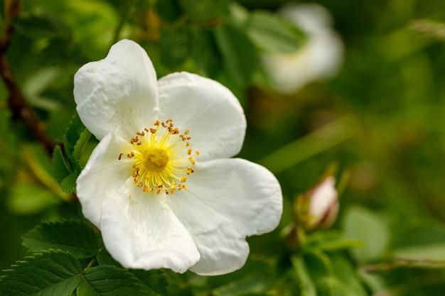 Белый цветок шиповника крупным планом