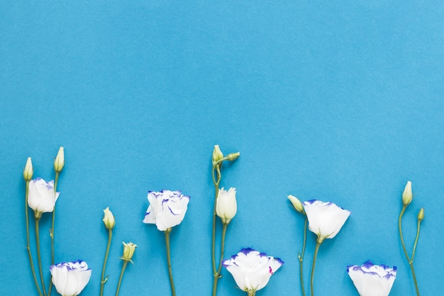 White roses on blue background with copy space