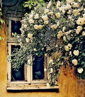 古いグランジの家の窓の周りにとりとめのない白いバラ。
