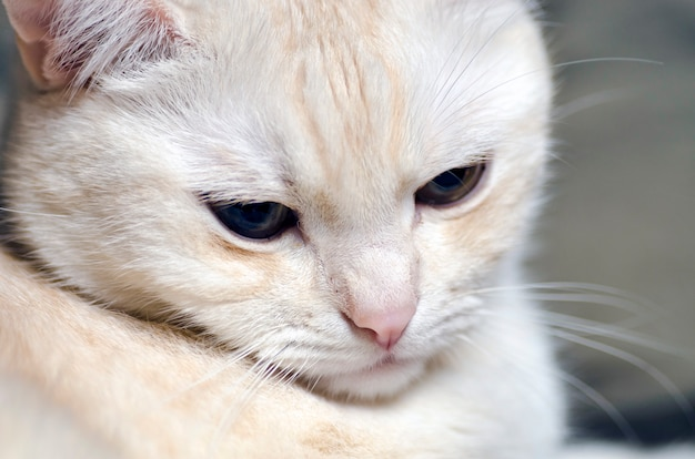 White sad cat