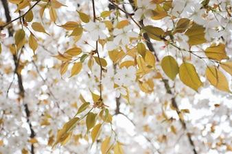White sakura flower or cherry blossoms.