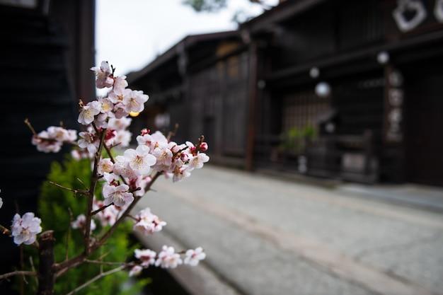 Белая сакура или цветение вишни в сохранившемся городке с деревянным домом весной в такаяма