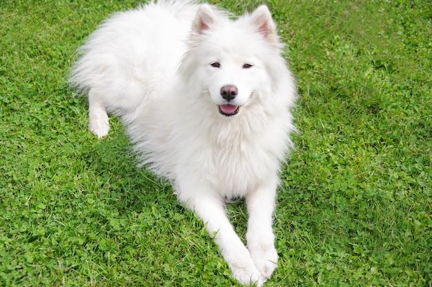 Белая собака породы самоедская собака в саду на зеленой траве