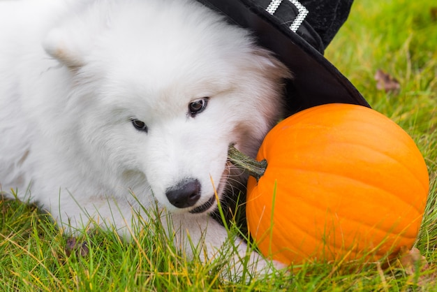 Белая самоедская собака в шляпе ведьмы с тыквой на хэллоуин