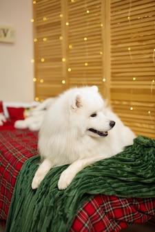 아이 방에 침대에 흰색 samoyed 개. 즐거운 성탄절과 즐거운 휴일 보내세요. 행복한 어린 시절. 크리스마스 이브