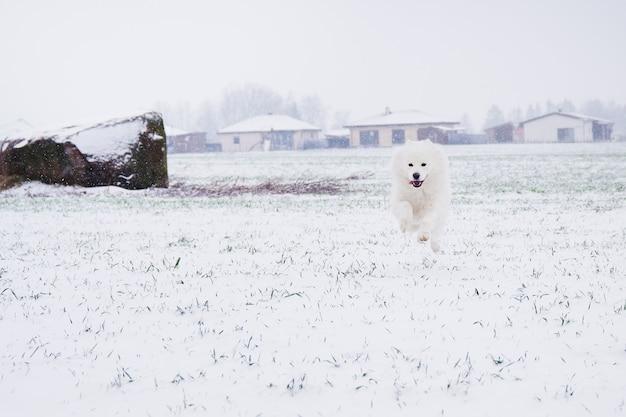 雪の中で屋外で走っている白いサモエド犬またはbjelkier。遊び心のあるペットアウトドア。冬の季節