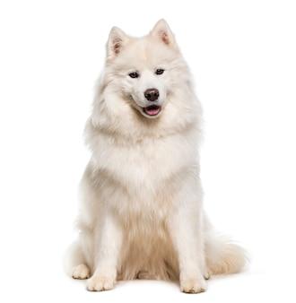 白いサモエド犬立ち、喘ぐ