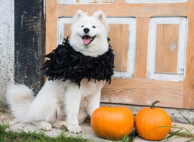 ハロウィーンのカボチャと白いサモエド犬。犬は閉じたビンテージドアで家のポーチに座っています。