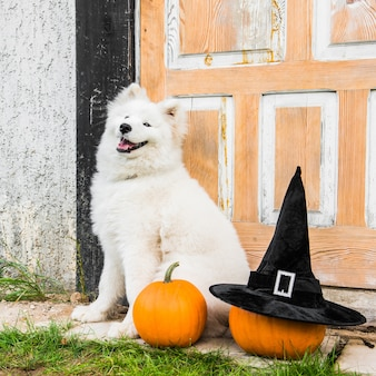 White samoyed dog with halloween pumpkins and witch hat