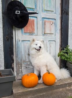White samoyed dog with halloween pumpkins