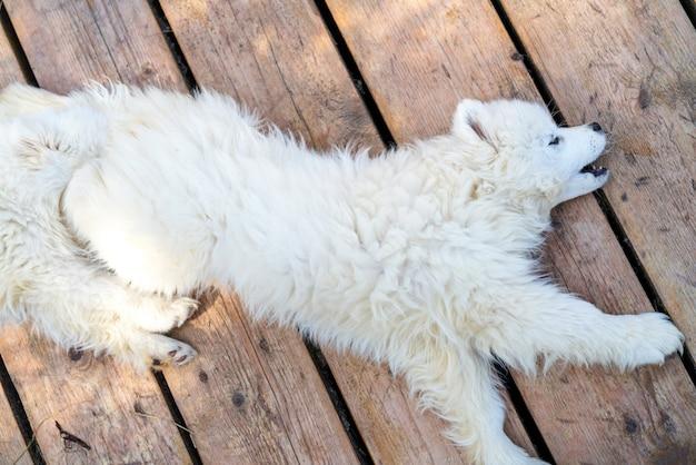 白いサモエドハスキーの子犬。ふわふわのコートを着たフレンドリーな犬。