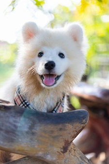 White samoyed puppy dog outdoor in park. portrait of samoyed standing on the grass in the