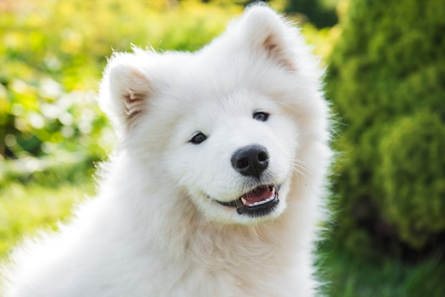 White samoyed puppy dog smiles muzzle in the garden on the green grass