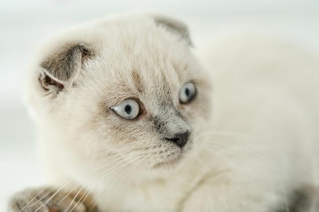 Белая шотландская вислоухая домашняя кошка, лежа в постели. красивый белый котенок. портрет шотландского котенка с голубыми глазами. милый котенок белая кошка складывает серые уши. уютный дом. домашнее животное кошка. закройте копию пространства.