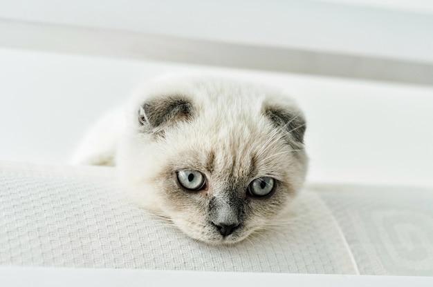 ベッドに横たわっている白いスコティッシュフォールド飼い猫。