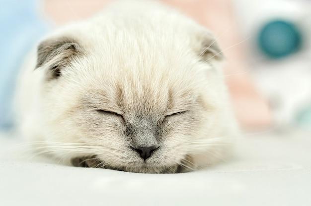 Белая шотландская вислоухая домашняя кошка спит в белой постели. красивый белый котенок. портрет шотландского котенка. милый котенок белая кошка складывает серые уши. уютный дом. домашнее животное кошка. закройте копию пространства.