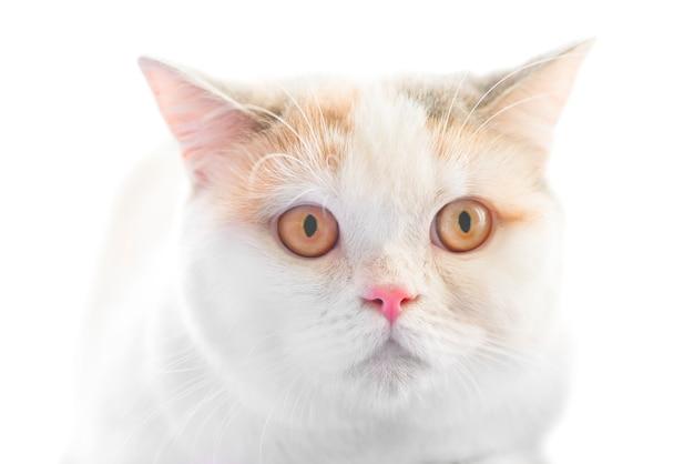 白い背景で隔離の大きな黄色の目を持つ白いスコティッシュストレート純血種の猫