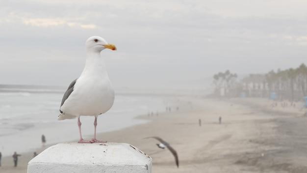 Белая чайка, пляж тихого океана в калифорнии. туманная холодная зимняя погода, морской пейзаж в тумане, пасмурное серое небо. прекрасная птица крупным планом, пирс на морском курорте на берегу океана, сша. спокойная атмосфера