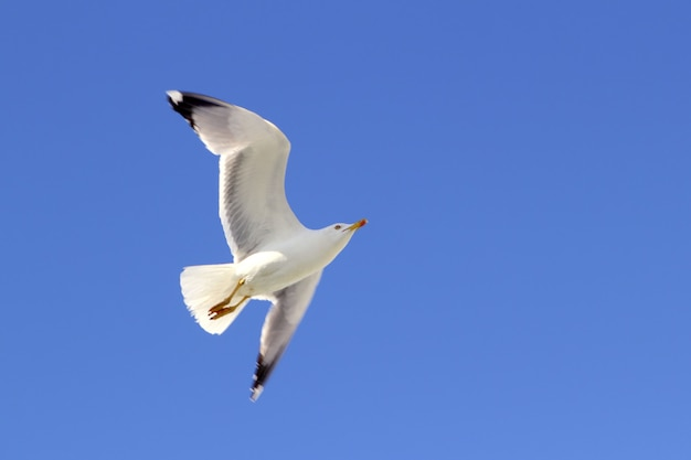 White seagull flying blue sky from below