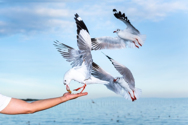 Белая чайка с красными ртами и лапами, ест пищу в руках людей