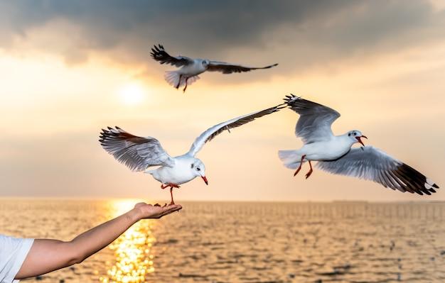 Белая чайка с красными ртами и ногами ест пищу в руках людей