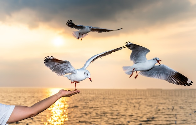 White seagull with red mouths and feet eating food in peoples hands