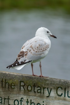 Белая чайка с пятнышками сидит на деревянном указателе