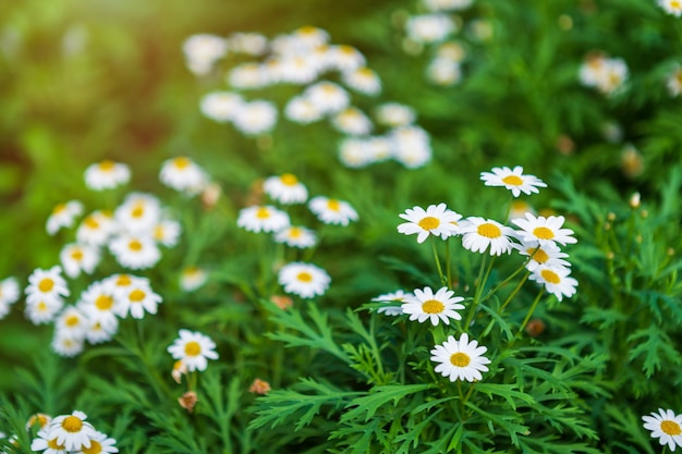 White seaside daisies in a spring garden.