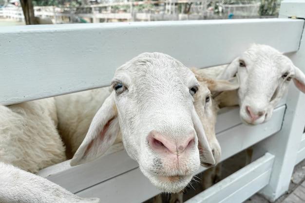 태국의 클래식 농장에 흰 양 무리가 있습니다.
