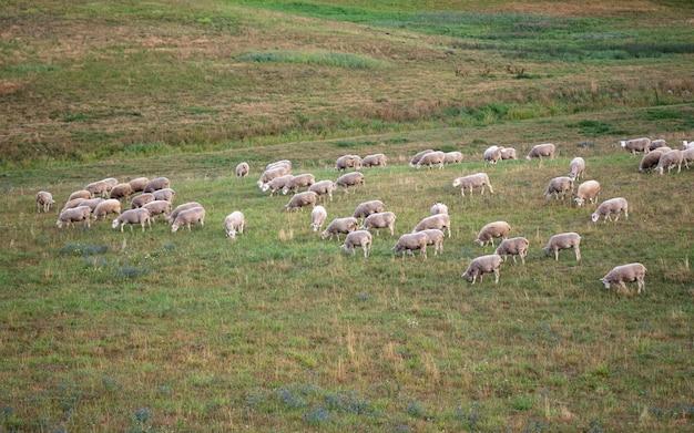 森のそばの野原で草を食べる白い羊。