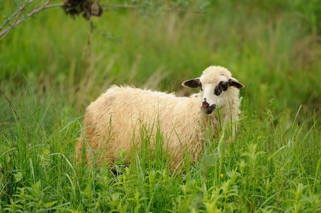 Белая овца в траве на ферме