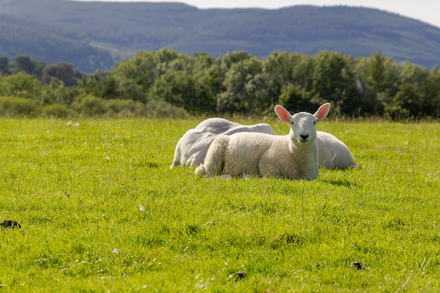 호수 지구에서 신선한 녹색 잔디에 앉아 흰 양