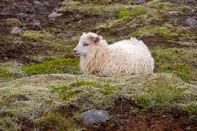 Белая овца сидит на траве в исландии