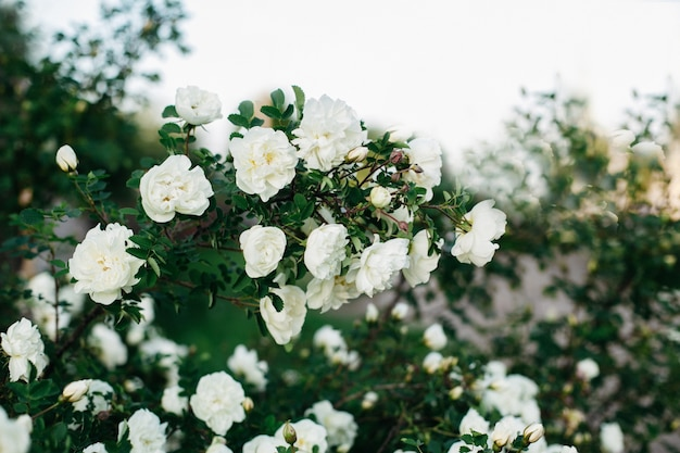 Белые кустовые розы раскладывают крупные бутоны цветов