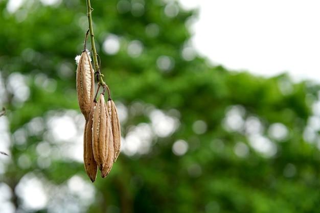 白い絹の綿の木またはセイバの木は、白いカポックが入った茶色の果実です。タイで枕や毛布を作るのによく使われます。