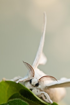 White silkworm with a blurred background