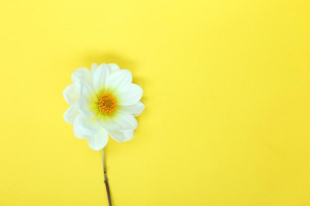 White single dahlia flower on yellow background copyspace