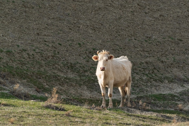 White skinny cow in the highlands