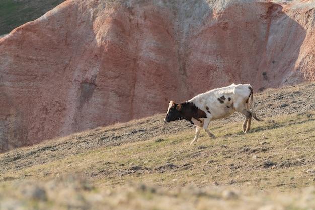 White skinny cow on a mountainside