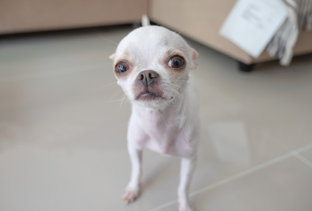 White small chihuahua puppy standing and looking