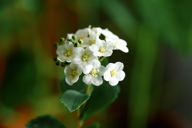 White small flowers close-up, green