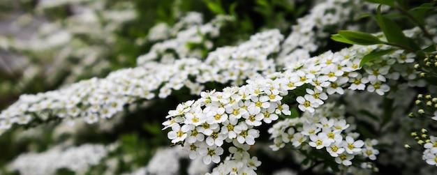 花のユキヤナギの白い小さな花