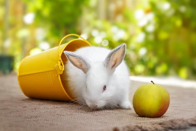 白い小さなウサギ、黄色いバケツと青リンゴ